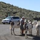 Wild burros - Oatman